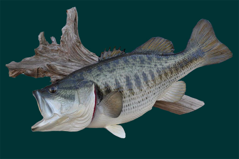 12 lbs Largemouth Bass-